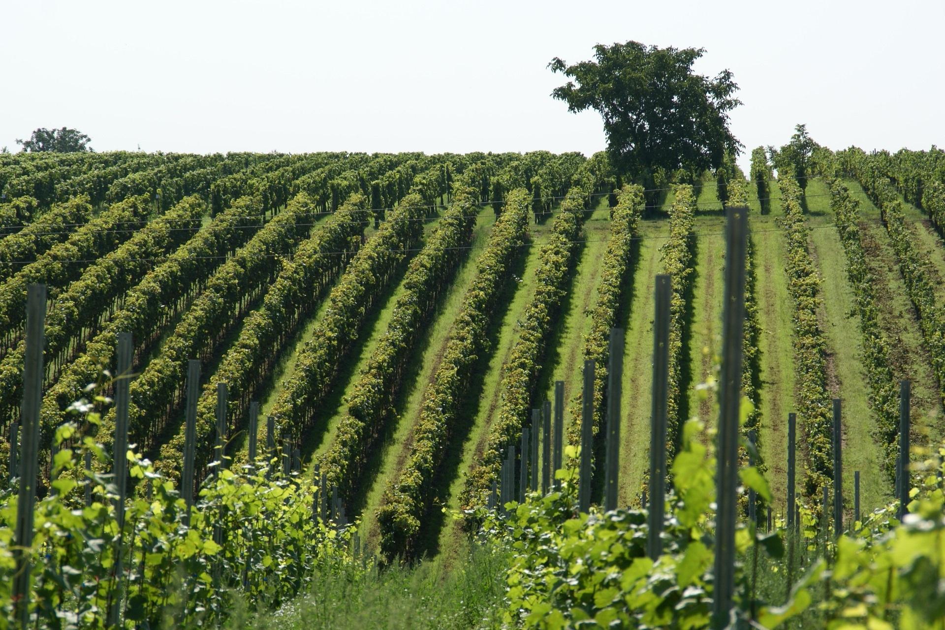 vineyard-836200